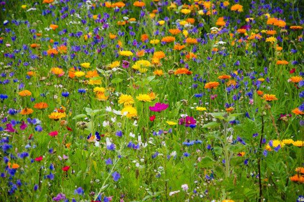 Bienenweiden sind nicht nur wunderschön, sondern auch Pflegeleicht